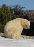 Polar Bear warming in the sun. Female Polar Bear warming up in the sun (Ursus Maritimus Royalty Free Stock Images