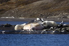 Polar Bear on a washed up sperm whale. Polar Bear on the horizon, Svalbard, Arctic Circle stock images