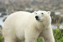 Polar Bear on the watch royalty free stock images
