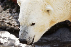 Polar bear watching Royalty Free Stock Photography