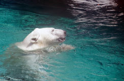 Polar bear in water Stock Image