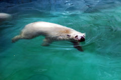 Polar bear in water Stock Photos