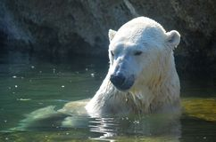 Polar Bear in Water Stock Photo