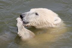 Polar bear in water Royalty Free Stock Photos