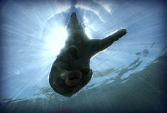 Polar Bear. In Water Stock Image
