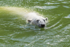 Polar bear in the water Stock Images