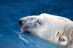 Polar bear in water closeup Royalty Free Stock Image