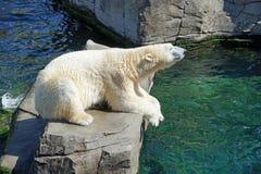 Polar Bear, Water, Concerns, Bear Stock Image