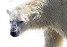 Polar bear with water drops. Taken at cochrane polar bear facility in ontario Stock Photo