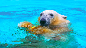 Polar bear in water Royalty Free Stock Photography