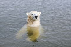 Polar bear in the water Stock Photography
