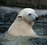 Polar bear in the water Royalty Free Stock Photography