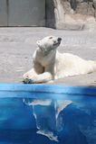 Polar bear water reflection. A white polar bear reflection in the water in argentina zoo stock images