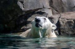 Polar bear in water Stock Photography