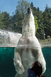 Polar bear in the water at zoologic park  in Mulhouse Royalty Free Stock Image