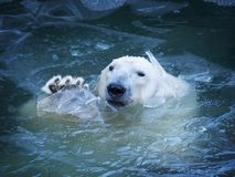 The polar bear waves his paw. Emerges from the water breaking a thin layer of ice. Pads on the paw Royalty Free Stock Photography