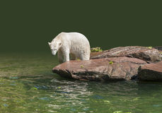 Polar bear in wet ambiance Royalty Free Stock Photos