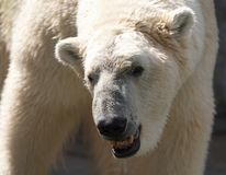 Polar bear white. A white polar bear with mouth open Stock Image
