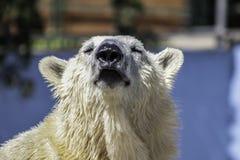 Polar Bear. White polar bear orso polare Royalty Free Stock Image