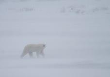 Polar bear whiteout Stock Image