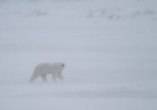 Polar bear whiteout. A polar bear looks towards the camera through a white out blizzard stock image