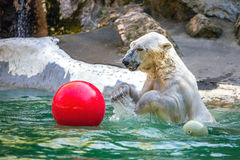 Polar bear. In the wild Royalty Free Stock Photos
