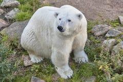 Polar bear in the wilderness. Wildlife animal background. Horizontal stock photo