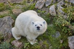 Polar bear in the wilderness. Wildlife animal background Royalty Free Stock Photos