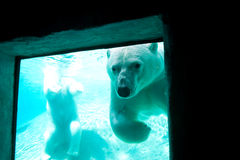 Polar bear through a window Royalty Free Stock Photos