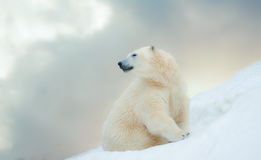 Polar bear in winter. Beautiful polar bear on northpolar, white Royalty Free Stock Photo
