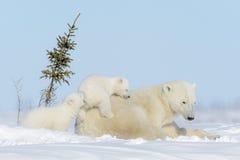 Polar bear & x28;Ursus maritimus& x29; with cubs Stock Photos