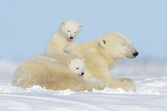 Polar bear (Ursus maritimus) with cubs Stock Photography