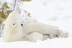 Polar bear & x28;Ursus maritimus& x29; with cubs Stock Image