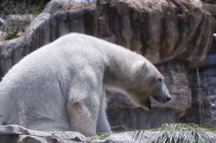 Polar bear yawning Stock Images