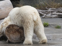 Polar bear yoga Royalty Free Stock Photos