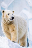 Polar bear in Zoo Royalty Free Stock Photos