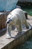 A polar bear in the zoo Royalty Free Stock Photo