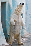 A polar bear in the zoo. Standing on back paws Royalty Free Stock Photos