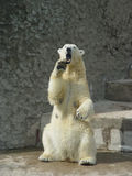 Polar bear in the zoo. Polar bear standing up on the hind legs bare its fangs Stock Image