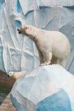 Polar bear in a zoo. Two white polar bears in a zoo Royalty Free Stock Photos