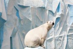 Polar bear in a zoo Royalty Free Stock Photos