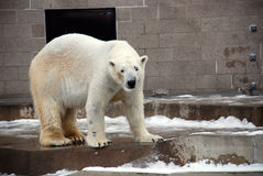 Polar bear in zoo. Portrait of polar bear in zoo with snow on wet ground Stock Image