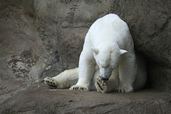 Polar bear at zoo Royalty Free Stock Images