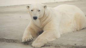Polar Bear In The Zoo stock footage