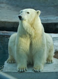 Polar bear in a zoo Stock Photo