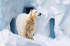 Polar bear in Zoo stock image