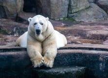 Polar bear in the Zoo Stock Photos