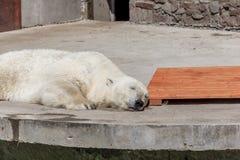 Polar bear in the zoo, polar bear in captivity royalty free stock image