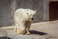 Polar bear in the zoo, polar bear in captivity Royalty Free Stock Photography