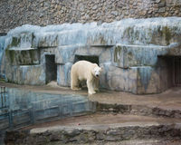 Polar bear in a zoo Royalty Free Stock Photography